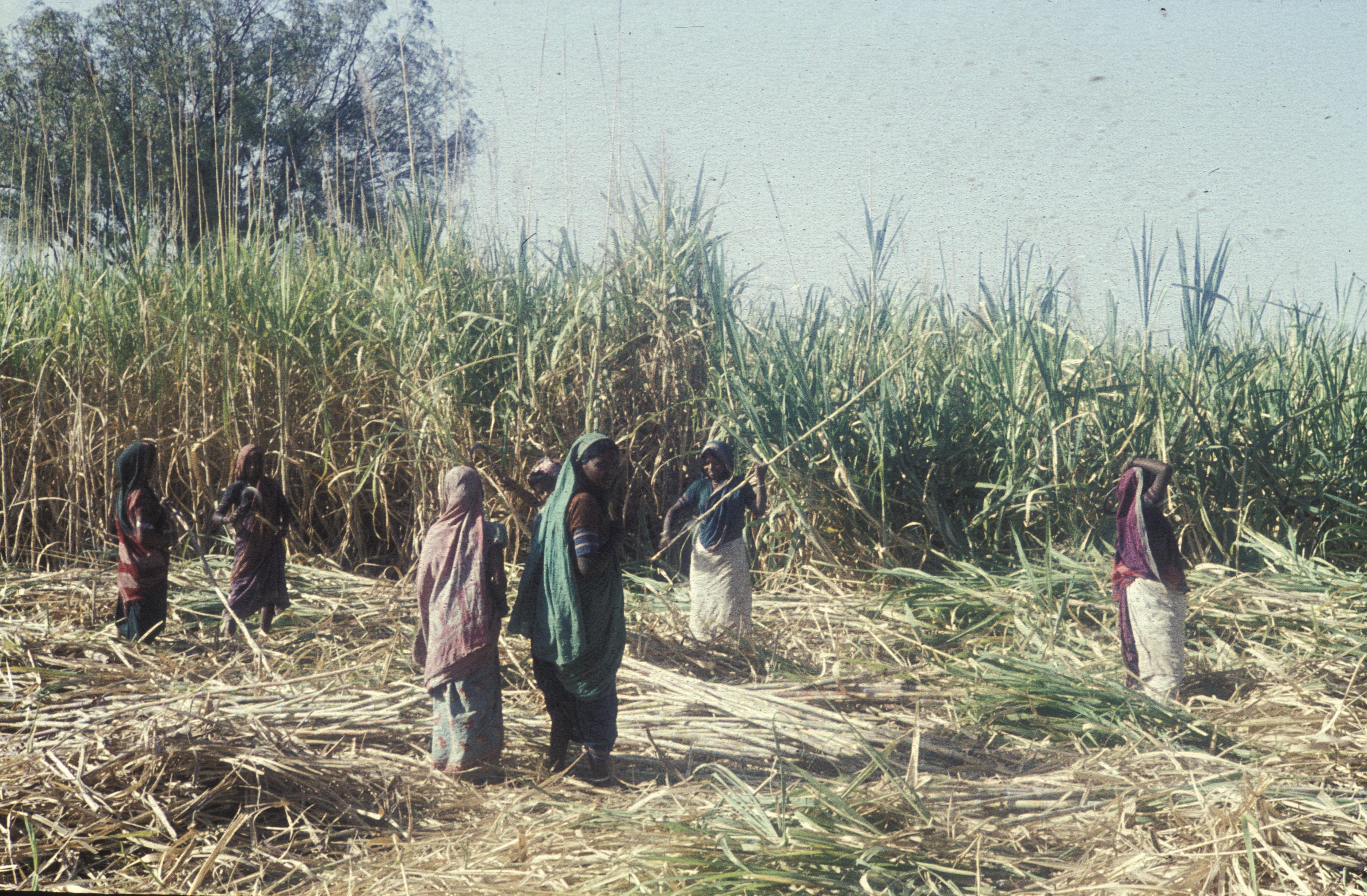 A sugarcane field
